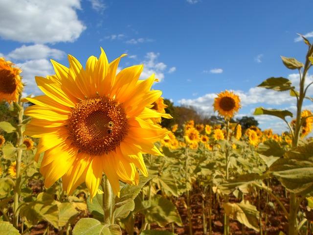 敬老の日の花 ひまわり