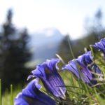 リンドウの花言葉とは? なぜ敬老の日に送られるの?