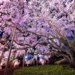 六義園お花見 桜の見頃はいつ?しだれ桜のライトアップはいつから?