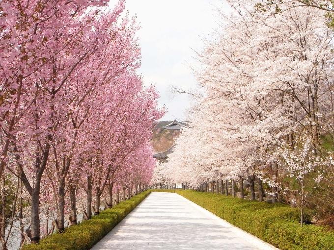 無量寿寺桜
