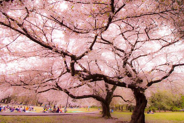 砧公園 桜